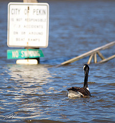 Flooded goose can't read the sign